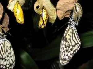 butterfly_cocoon